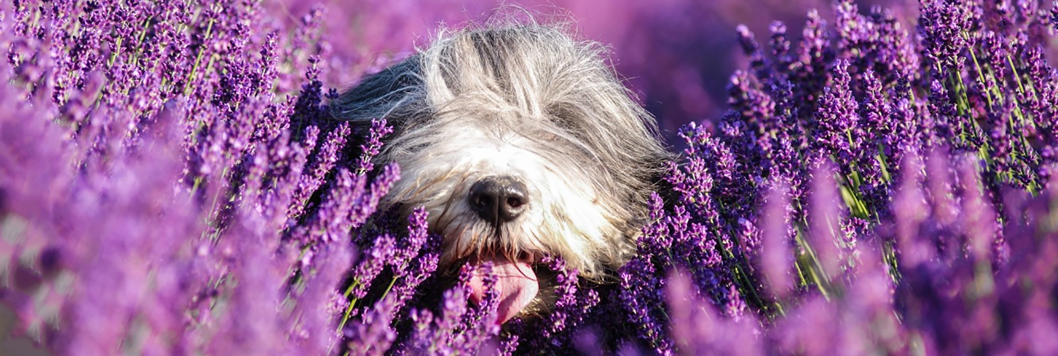 essential-oils-dog-lavender2